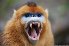 Golden snub-nosed monkey (Rhinopithecus roxellana qinlingensis) adult male yawning showing canines, Zhouzhi, Shaanxi, China.